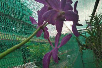 Orchid Nursery3